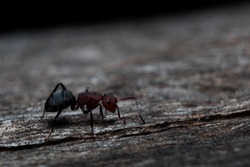 Red ant running on wood (Formica rufa) black background