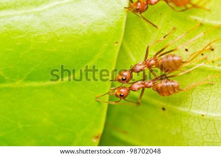 red ant teamwork on green leaf