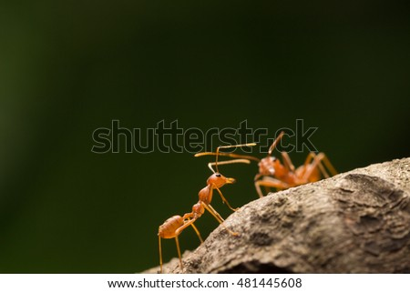 Red ant,Weaver Ants (Oecophylla smaragdina) #481445608