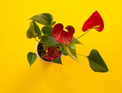 Red anthurium  flower on pink flower pot on yellow background. Minimal floral concept. Layout, template or  card design, copy space for text. Minimalism aesthetic, houseplant, selective focus