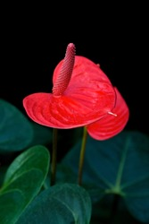 Red Anthurium flowers isolated on black