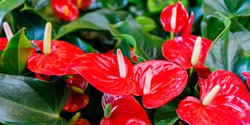 Red anthurium flowers ( tailflower, flamingo flower, laceleaf ) in flower shop, tropical background, banner
