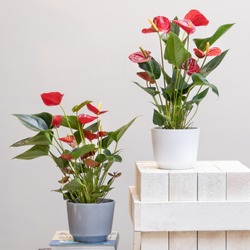 Red Anthurium Laceleaf flower plant