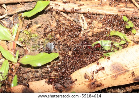 Red Ants at the Bigodi Wetlands in Uganda - The Pearl of Africa