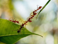 red ants bridge between green leaf and carry food , good teamwork