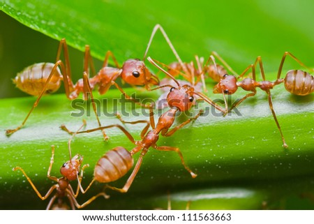 red ants in the nature