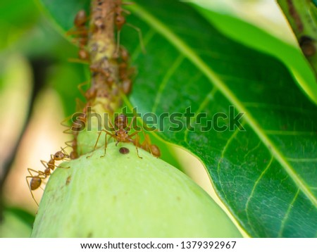 Red ants live on mangoes. #1379392967