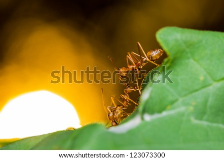 Red ants on green leaf and sun background