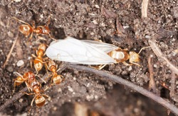 Red ants, queen and workers