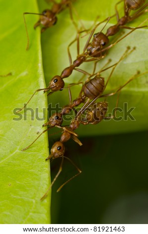 red ants team work building home