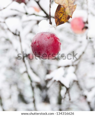 Red apple on a branch in the snow in winter