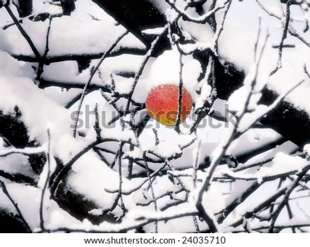 Red apple on the branch under the snow