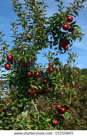 Red Apples Hanging from a Tree in an Orchard
