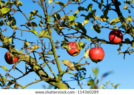 Red apples on a tree and blue sky