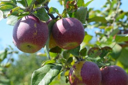 Red apples on a tree in an apple orchard with a blue sky in the background. Juicy organic fruits. Macintosh apples on a branch.