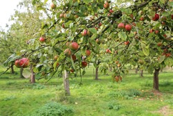 red apples on a tree in plantation