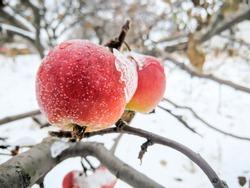 Red apples on a tree in winter. An apple in hoarfrost is hanging on a tree branch. Frozen red apple in the garden. Winter garden