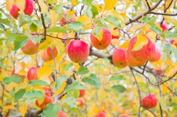 Red apples on a tree. Vibrant yellow autumn leaves in apples orchard.