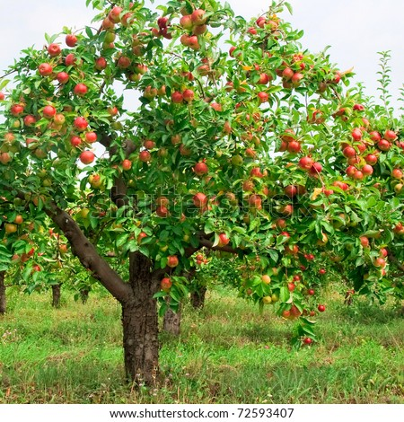 Red apples on apple tree branch Stock foto ©