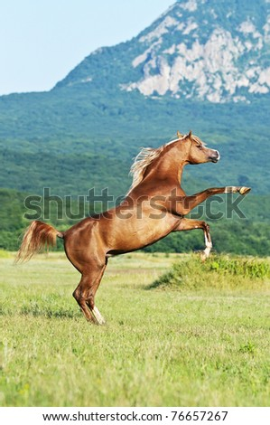 red arabian horse rearing on the meadow