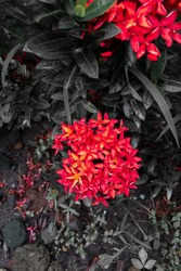 Red asoka flowers blooming beautifully at the garden. Selective focus