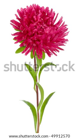 red aster flower - stock photo