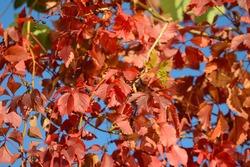 red autum leafs