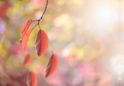 Red autumn beech leaves blowing in the wind and falling from branches over colorful bokeh background, autumnal season background
