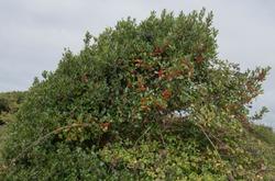 Red Autumn Berries on a Windswept Wild Holly Shrub (Ilex aquifolium) at Crow Point on the North Devon Coast, England, UK