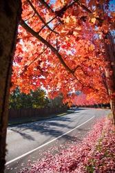 Red autumn in Seattle area - Washington