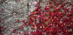 Red autumn ivy leaves on wall background