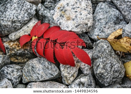 Red autumn leaf lies on the gray stones. Autumn begins, bright, juicy #1449834596