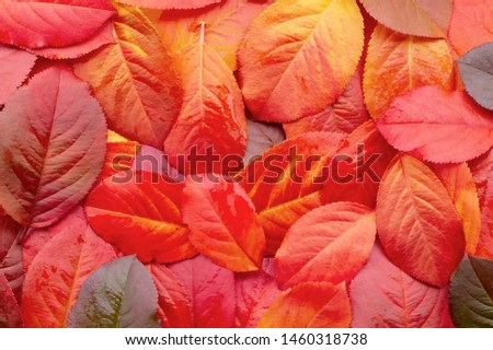 Red autumn leaves of chokeberry - texture, autumn background