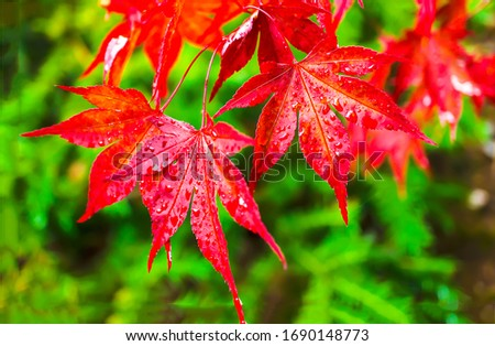 Red autumn leaves water drops. Red autumn leaves. Red autumn leafs