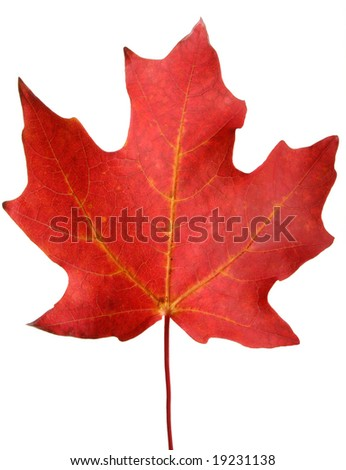 Red autumn maple leaf isolated on white.