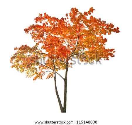 red autumn maple tree isolated on white background #115148008