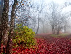 Red autumn misty forest roads. Forest mist in red autumn. Red autumn mist forest scene