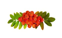 Red autumn rowanberries and leaves in a line arrangement isolated on white