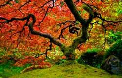 Red autumn tree foliage view. Red autumn tree view. Autumn red tree. Autumn nature tree scene