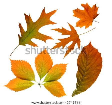 Red autumn tree leaves nature collection isolated on white background