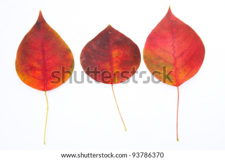Red autumnal leaves and white background.