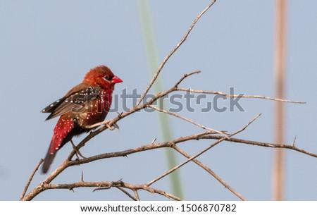 Red Avadavat bird sitting on perch of tree