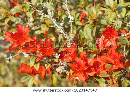 Red azalea flowers on its tree. #1023147349