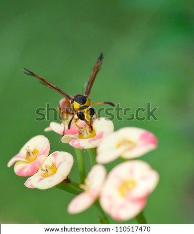 red back mud wasp feeding on a flower