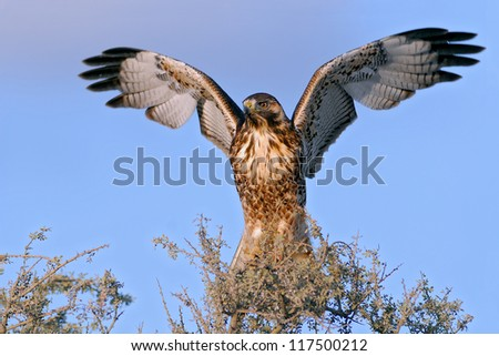 Red-backed Hawk spreading its wings (Buteo polyosoma). Patagonia, Argentina, South America