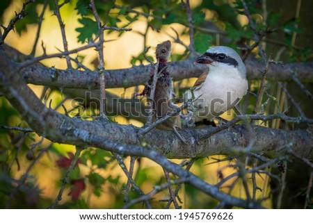 Red-backed shrike impaling a mouse on a thorn Сток-фото ©