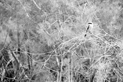 Red-backed shrike in its habitat, a highkey image at Asker Marsh