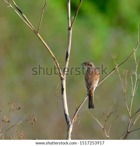 Red-backed shrike . Lanius collurio. Birdwatching. A bird on a branch.