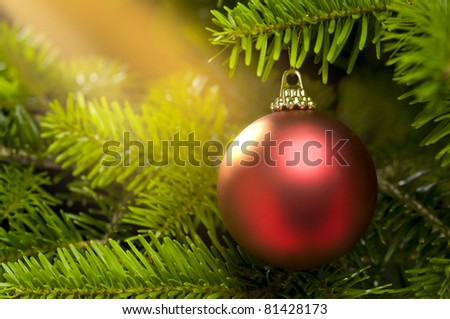 Red ball in a real Caucasian Fir Christmas tree nice shining, as Christmas card template