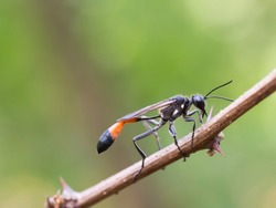 Red-banded sand wasp ( Ammophila sabulosa )on of the subfamily Ammophilinae of the hunting wasp family Sphecidae sitting on a twig